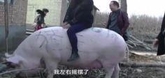 Gargantuan 1,600-pound porker dubbed 'King of Pigs'