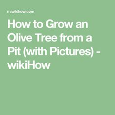 How to Grow an Olive Tree from a Pit (with Pictures) - wikiHow