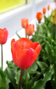 Nothing heralds spring the way tulips (Tulipa) do. The spring-blooming bulbs are planted in the fall. They grow roots before winter, then send up leaves and flowers in the spring.  About 150 species of tulips and more than 3,000 varieties exist.