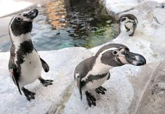 Humboldt penguins roam together in their habitat at the Akron Zoo.