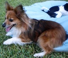 Mikki is a 5 year old, 13 pound, Shelillon (Sheltie Papillon mix - He may have a little bit of Pomeranian mixed in as well).