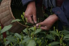 Waarom er maar twee woorden voor 'thee' bestaan - De Standaard: http://www.standaard.be/cnt/dmf20180120_03311183