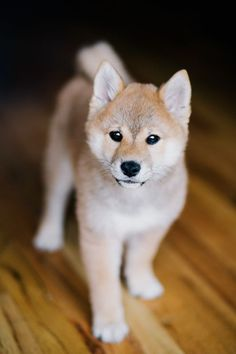Adorable Shiba Inu puppy! Just look at that cute face!