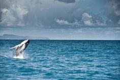 """Observação de baleias (República Dominicana). """"Todos os anos, milhares de baleias jubarte se reúnem fora da Península de Samaná para acasalar e dar à luz, assisti (a partir de uma distância respeitosa) por carradas de seus fãs humanos. Para uma experiência ainda mais íntimo, semana de live-aboard excursões para o Banco de Prata ao norte de Puerto Plata oferecem a oportunidade extremamente rara de snorkel ao lado desses mamíferos em massa. """""""