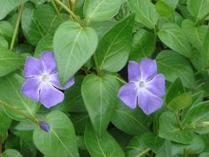 Wildflowers of Turkey - vinca-major-ssp-major