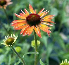 Echinacea 'Hot Summer' / Solhat  -  Johansens Planteskole