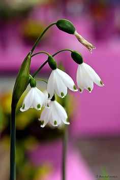 Snowdrops or spring snowflake. Leucojum is a small genus of bulbous plants belonging to the Amaryllis family, subfamily Amaryllidoideae native to Eurasia. Exotic Flowers, White Flowers, Beautiful Flowers, Beautiful Gorgeous, Small Flowers, Simply Beautiful, Deco Nature, Moon Garden, Lily Of The Valley
