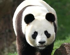 Panda zoo de Beauval