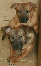 Bridget & Dottie is an adoptable Shepherd Dog in Mechanicsburg, PA. 4 months old. These sweethearts have been spayed, microchipped, received initial deworming and Frontline, and are up to date on vacc...