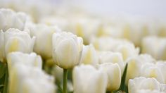 White Flowers Images HD Wallpapers Backgrounds of Your Choice HD