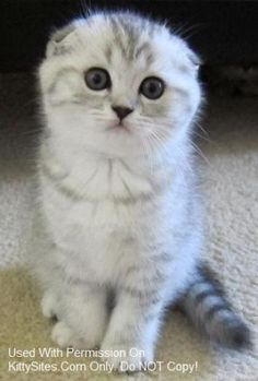 Scottish Fold Cat - #scottishfold - See more stunning picture of Scottish Fold Cat Breeds at Catsincare.com!