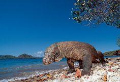Komodo Island, place that u should go