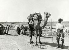 TIL That Afghans ''cameleers'' in 1800 helped Australia shape its outback. These cameleers opened the outback helped with the construction of the Overland Telegraph Line and Railways supplied stations with its goods and services. With little recognition. Australia Photos, South Australia, Western Australia, Australia 2018, First Fleet, Camels, Historical Photos, Old Photos, Vintage