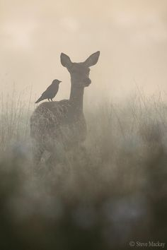 The Doe and the Jackdaw (A very foggy, early morning at Richmond park.) Steve Mackay