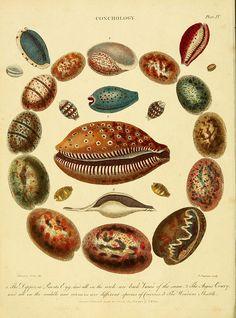Sea To Zee All Things Coastal Sea Glass| Serafini Amelia| Illustration Shells