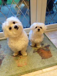 My babies Maltese Puppy #Maltese