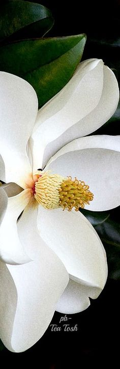 This is a lovely regal snowy white Magnolia wieseneri blossom. These magnolias are native plants in the southern USA. This one is growing in Limestone County, Alabama, USA. Flor Magnolia, Magnolia Trees, Magnolia Flower, Art Floral, White Flowers, Beautiful Flowers, Magnolia Wedding, Garden Painting, Flower Art