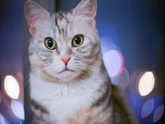 Un bonito gato con la mirada fija