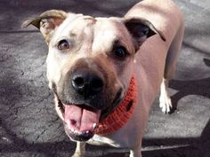 SUPER URGENT MAHATTAN CHA CHA aka SHELBY – A1013486 **RETURNED 11/11/15**SAFER: AVERAGE HOME** FEMALE, TAN / BLACK, BLACK MOUTH CUR, 3 yrs OWNER SUR – EVALUATE, HOLD RELEASED Reason OWNER HOSP Intake condition EXAM REQ Intake Date11/11/2015, From NY 11421, DueOut Date11/11/2015 http://nycdogs.urgentpodr.org/cha-cha-a1013486/