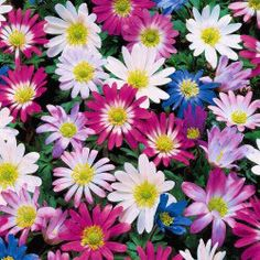"Grecian Windflowers  have daisy-shaped flowers up to 2"" across bloom before many crocuses and continue their delightful color show for weeks and they increase annually. 3-4"" tall."