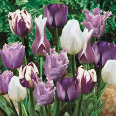 "I got purple tulips potted for Angelica yesterday at Walmart for $1.48 each with 4 bulbs in each pot!   Light: Full sun to partial shade; Height: 14-20""; Bloom Time: Early to Late spring; http://www.gardeningwithkids.org/plantingtulips.html"