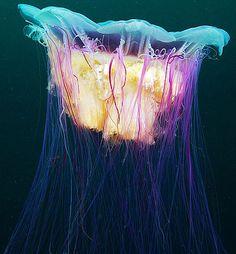 Stunning photos of jellyfish by Alexander Semenov