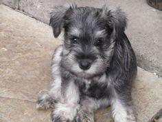 microer snozer | Reg Miniature Schnauzer Puppies - JoBSPapa.com