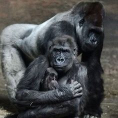 New baby gorilla at the Pittsburgh Zoo. by tonya Primates, Gorillas In The Mist, Baby Gorillas, Cute Baby Animals, Animals And Pets, Orangutan Monkey, Pittsburgh Zoo, Army Dogs, Silverback Gorilla