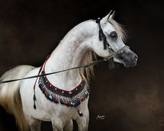 Shah Mishaal RCA (Mishaal HP x Bint Asila RCA), 2012 Grey Egyptian Arabian Stallion. Egyptian Event Champion 2-Year-Old Colt. On our farm in central Texas.