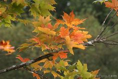 Google Image Result for http://www.freefoto.com/images/15/86/15_86_6---Autumn-Leaves_web.jpg