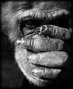 Ali Koko, the Third (Norm, to his many disciples) gravely meditates, alone in his cell. GOD, I fuckin' hate Humans MUST not know I speak That I am aware I must be patient Patience is key. Primates, Mammals, Animals Black And White, Black And White Pictures, Animals For Kids, Animals And Pets, Types Of Monkeys, Magnificent Beasts, Wild Animals Photos