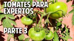 Máxima producción de tomates en maceta Parte 3 - Atar las tomateras de 4...