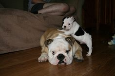 English and French Bulldogs animal-things Bulldog Puppies, Dogs And Puppies, Doggies, I Love Dogs, Cute Dogs, Adorable Puppies, Thor, Baby Animals, Cute Animals