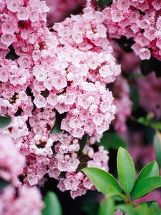 Mountain laurel, I have 2, they are beautiful!  The buds are striped!