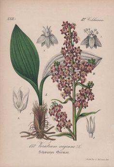 Veratrum nigrum Botanical Print Plant Illustration by Craftissimo