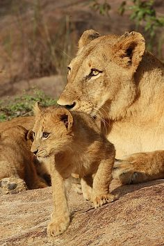 Lioness and cub stare by Gary Parker Photos, via Flickr