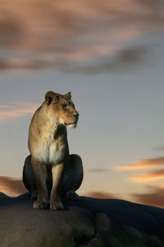 Lioness at dusk Photo by Nikolaus Stuecklen -- National Geographic Your Shot Wild Animals Attack, Animal Attack, Beautiful Cats, Animals Beautiful, Big Cats, Cats And Kittens, Animals And Pets, Cute Animals, Female Lion