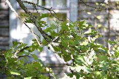 http://www.pienilintu.blogspot.fi/2013/09/beautiful-oak.html