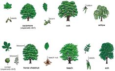 """Deciduous w oodland  Deciduous means """"falling off at maturity"""" or """"tending to fall off"""". Deciduous plants lose their leaves for part of th..."""