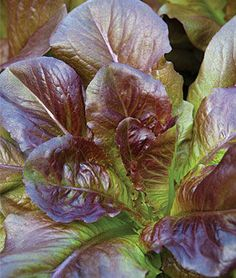 Lettuce, Cimarron A red romaine with terrific flavor—and an American favorite. more info Product Details lifecycle: Annual Zone: 0 Height: inches Sowing Method: Direct Sow Types Of Vegetables, Planting Vegetables, Mixed Vegetables, Vegetable Garden, Fruit Garden, Edible Garden, Garden Seeds, Planting Seeds, Herbs