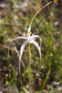 Spider Orchid | Spider Orchid