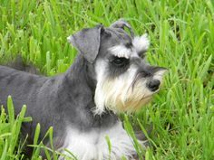 What Is A Phantom Schnauzer? Black and silver with extreme white furnishings with the black. There should be no liver or copper color behind the ears or on any part of the body.
