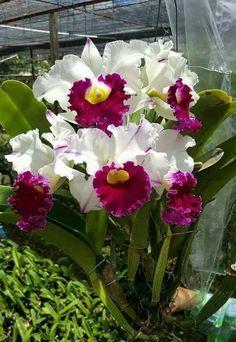 Flowers Nature, Exotic Flowers, Amazing Flowers, Beautiful Flowers, Cattleya Orchid, Dendrobium Orchids, Orchids Garden, Orchid Plants, Arrangements Ikebana