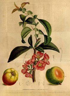Chaenomeles japonica (Thunb.) Lindl. var. umblicata Houtte, L. van, Flore des serres et des jardin de l'Europe, vol. 5: p. 510 (1849) [L. Stroobant]