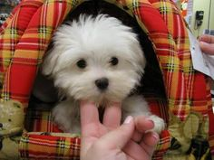 cute maltese puppy! i love his plaid teddybear igloo!