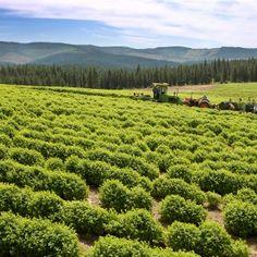 Harvesting Melissa   Young Living Farm St. Maries ID