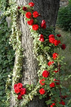 Climbing roses on a tree! Why haven't I thought of this?Climbing roses on a tree! Why haven't I thought of this? Beautiful Roses, Beautiful Gardens, Trees Beautiful, Colorful Roses, Climbing Roses, My Secret Garden, Dream Garden, Pretty Flowers, Red Flowers