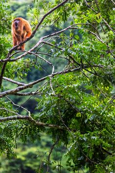 Hanging out in the trees at La Senda Verde Wildlife Refuge in Bolivia. Photo by @traceybuyce  for Photographers Without Borders.