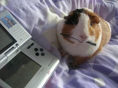 Guinea pig playing Nintendo DS