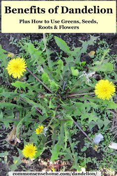 of Dandelion Plus How to Use Greens, Seeds, Roots & Flowers Dandelion is just a weed to some, but savvy foragers know how to use it for free food and medicine. We\'ll share how, plus tips to get rid of excess plants. Dandelion Uses, Dandelion Benefits, Dandelion Flower, Dandelion Recipes, Dandelion Plant, Healing Herbs, Medicinal Plants, Herbal Plants, Taraxacum Officinale